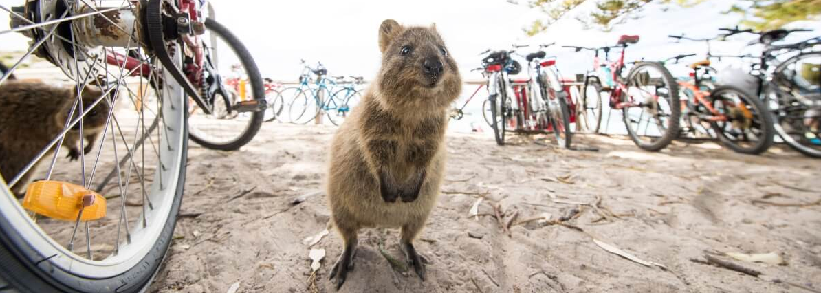 Fall in Love with The Quokka - T20 World Cup Countdown